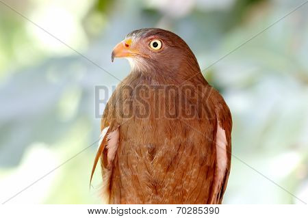 Rufous-winged Buzzard Butastur Liventer