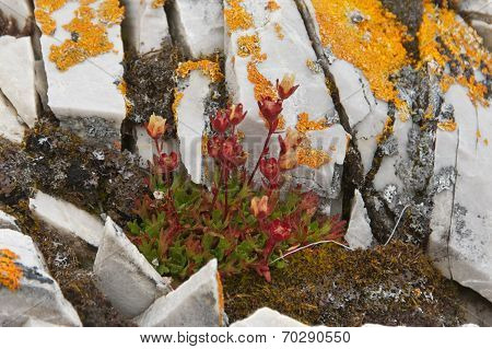 Rue-leaved Saxifrage in Svalbard