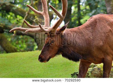 Elk Bull; in green grass land