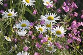 image of manor  - Chamomile and campion flowers in a wild flower urban meadow by Pictoral Meadows Ltd - JPG