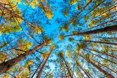 image of canopy  - Looking Up In Spring Pine Forest Tree To The Canopy - JPG