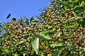 picture of elderberry  - Growing elderberry unripe fruits on a background of blue sky - JPG