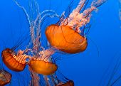 pic of jellyfish  - Blue ocean background with Sea Nettle jellyfish