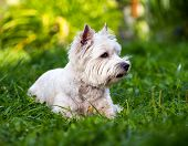 stock photo of west highland white terrier  - West Highland White Terrier lies in green grass - JPG