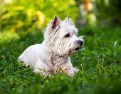 picture of westie  - West Highland White Terrier lies in green grass - JPG