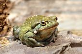 picture of amphibious  - Colorado River toad Incilius Bufo alvarius on rock