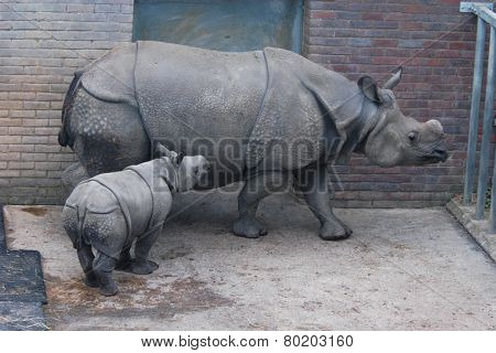 Indian rhinoceros (Rhinoceros unicornis) with a calf.