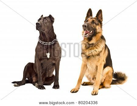 Staffordshire Terrier and German Shepherd