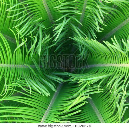 Tender palm leaves