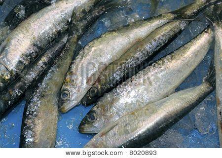 Pilchard Sardine Seafood Fish Catch Blue Ice