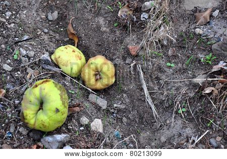 Quince - Fallen Fruit, Rotting Quince On Ground With Ant, Leaves And Stones