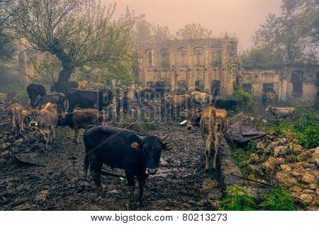 Livestock In Karabakh
