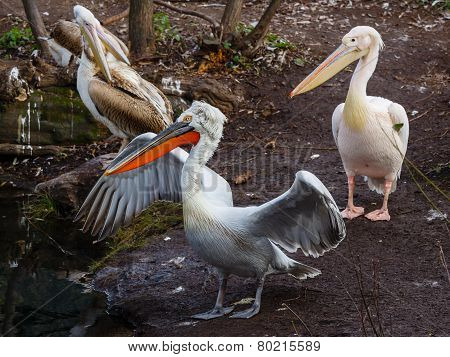 Group Od Pelicans