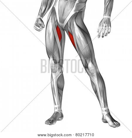 Concept or conceptual 3D adductor longus human leg anatomy or anatomical and muscle isolated on white background