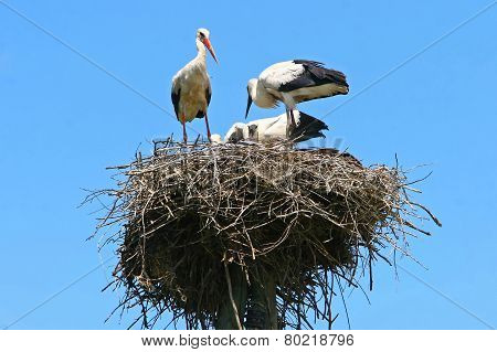 Group Of White Storks In Nest