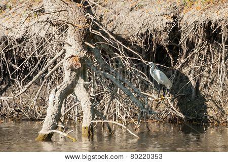 Small White Egret In Nature