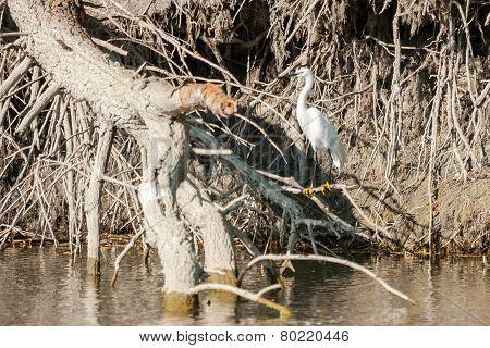 Small White Egret