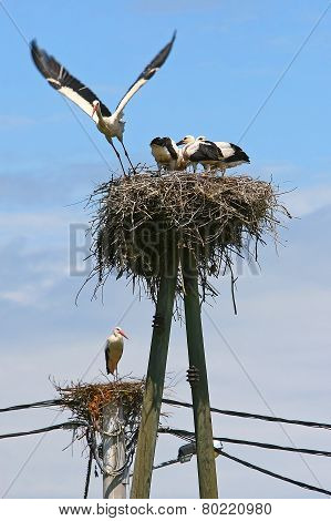 Two White Stork Nests