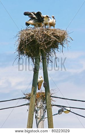 White Storks In Nests On Electric Poles
