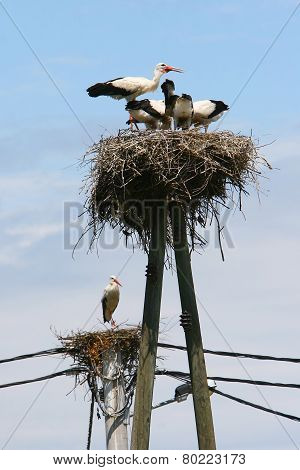 White Storks In Nests