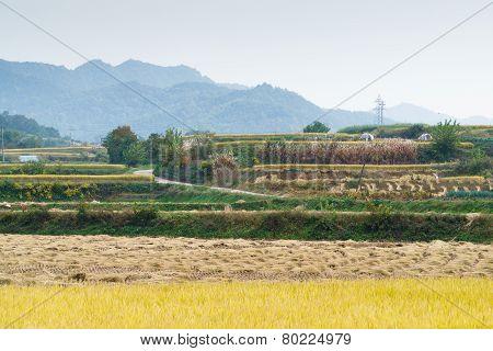 Terraced Rice Field In Autumn