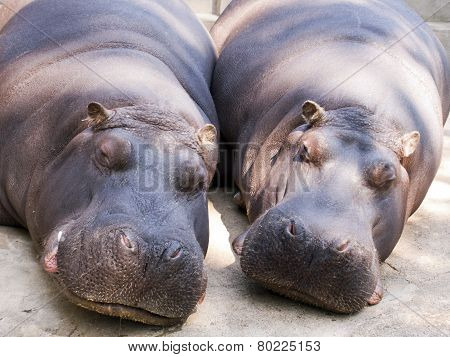 Two Hippo
