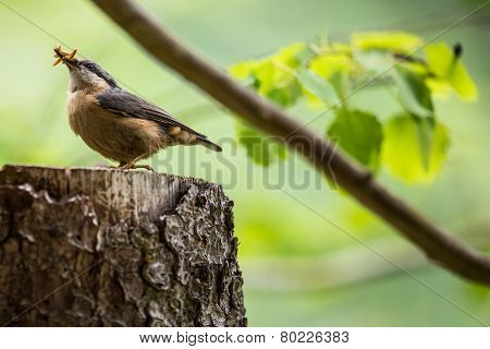 An adult red-breasted nuthatch having lunch