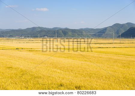 view of full ripen golden rice paddy