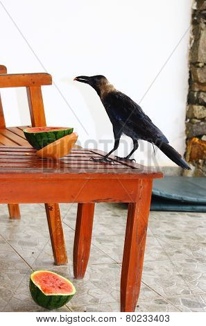Crow eating watermelon on the porch