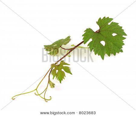 Twig Of Vine