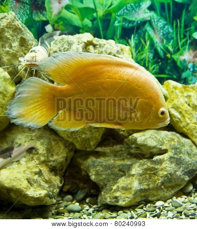 Golden Cichlasoma