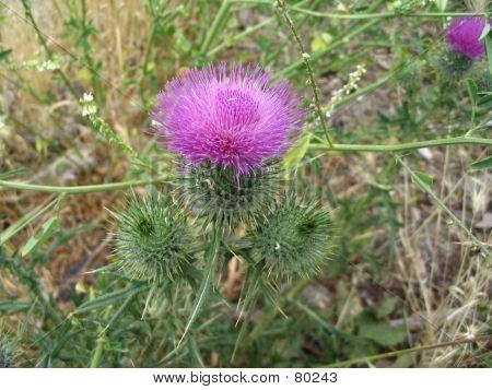 Spikey Pink Flower
