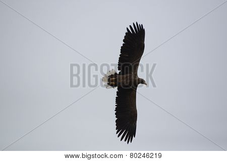 Hovering Eagel