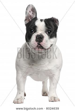 French Bulldog, 13 Months Old, With A Cut Ear Standing In Front Of White Background