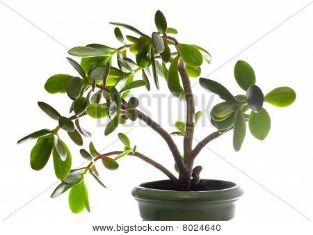 Crassula (dollar Tree) Plant Isolated On White.