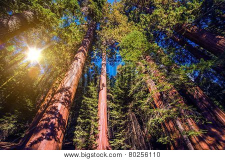 Giant Sequoias Forest
