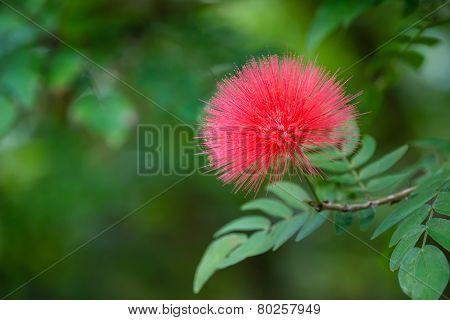 Blooming Mimosa Tree Flower