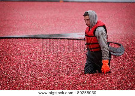 Cranberry Harvesting