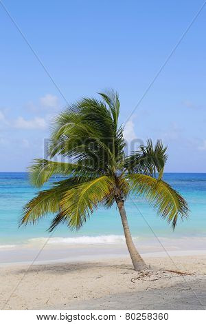 Palm tree at the Caribbean beach