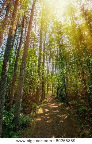 The sun highlights a pathway through the Haunted Forest in Prince Edward Island National Park, Canada.  The Haunted Forest refers to the forest in L. M. Montgomery's book 'Anne of Green Gables'.