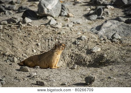 Himalayan Marmot at Pangong Lake Ladakh .India