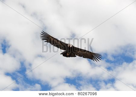 Vulture Flying Over Colca Canyon, Peru
