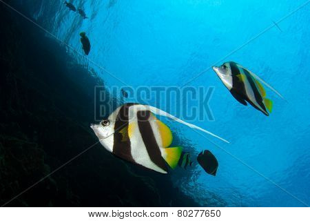 Fish underwater: Bannerfish