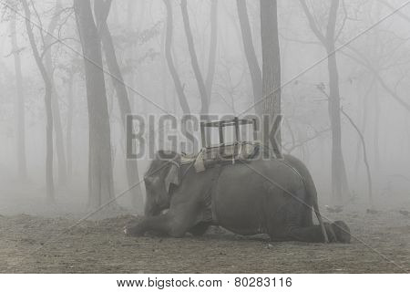 Domesticated elephant lying down, foggy morning in Chitwan, Nepal