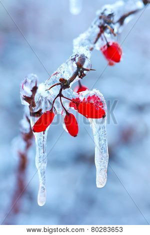 Frozen Rosehip Branch In Winter
