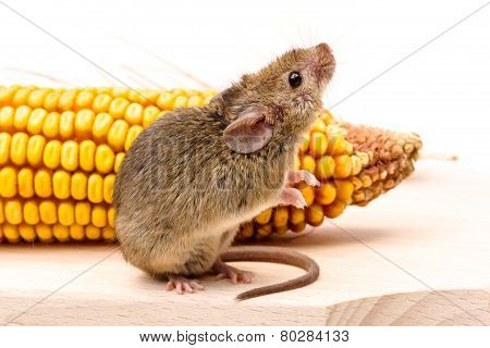 House Mouse (mus Musculus) On Corn