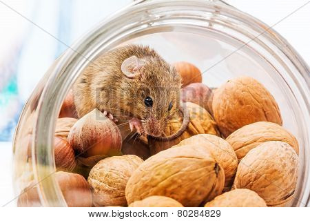 House Mouse (mus Musculus) In Walnut And Corn