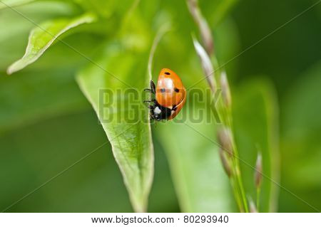 Red ladybug on the leaf