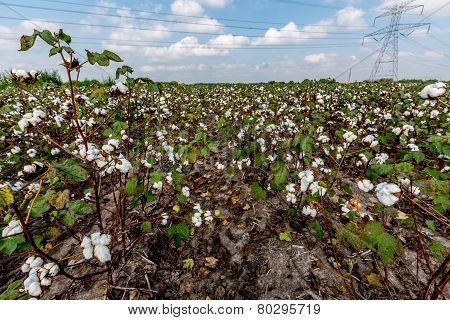 Raw Cotton Growing in a Cotton Field.