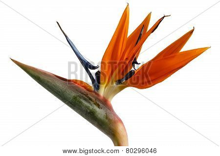 Strelitzia - Exotic Flower